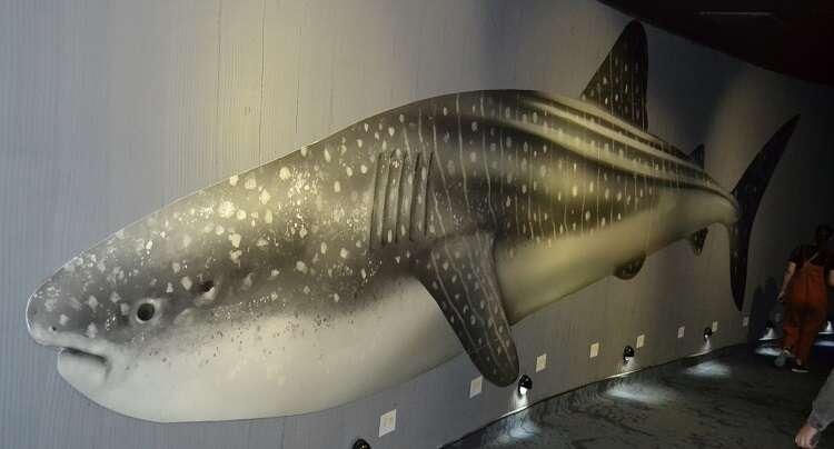 Tubarão-baleia no AquaRio - Viagens Bacanas