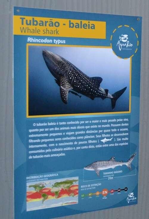 Tubarão-baleia no AquaRio
