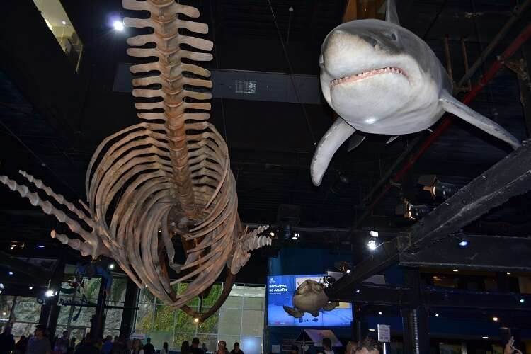 Esqueleto de baleia jubarte no AquaRio