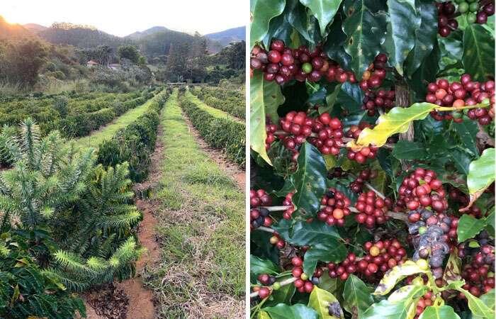 Cafezal da Fazenda Florença - Viagens Bacanas